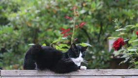 Gato soñoliento cerca de rosas almacen de video