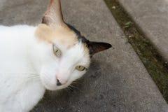 Gato soñoliento con la piel marrón blanca en piso foto de archivo