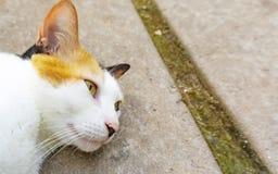 Gato soñoliento con la piel marrón blanca en piso imagen de archivo libre de regalías