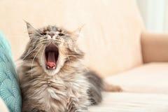 Gato soñoliento de Maine Coon que bosteza en el sofá en casa fotos de archivo libres de regalías