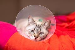 Gato soñoliento del concepto del cuidado de animales de compañía que lleva el cuello isabelino del cuello, del E-cuello o del tip fotografía de archivo