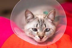 Gato soñoliento del concepto del cuidado de animales de compañía que lleva el cuello isabelino del cuello, del E-cuello o del tip foto de archivo