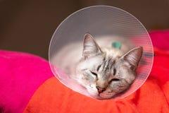 Gato soñoliento del concepto del cuidado de animales de compañía que lleva el cuello isabelino del cuello, del E-cuello o del tip imagenes de archivo