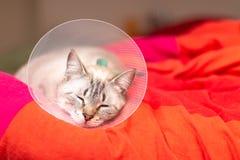Gato soñoliento del concepto del cuidado de animales de compañía que lleva el cuello isabelino del cuello, del E-cuello o del tip imagen de archivo