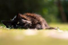 Gato soñoliento en hierba del verano Imagen de archivo