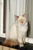 Gato soñoliento en ventana-travesaño Imágenes de archivo libres de regalías