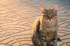 Gato soñoliento por mañana Fotografía de archivo