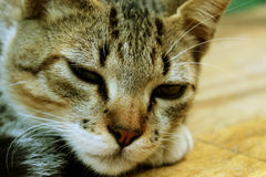 Gato soñoliento que descansa, gatito precioso Foto de archivo
