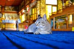 Gato soñoliento que miente en la alfombra azul eléctrica fotos de archivo