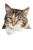 Gato sobre la bandera blanca Imagen de archivo