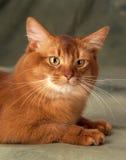 Gato somalí Fotografía de archivo libre de regalías