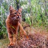 Gato somalí de la tierra media Fotografía de archivo libre de regalías