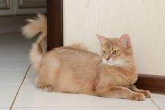 Gato somalí Imagen de archivo libre de regalías