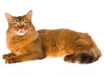 Gato somaliano que encontra-se no fundo branco foto de stock royalty free
