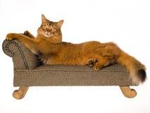 Gato somaliano que encontra-se no mini sofá no fundo branco imagem de stock