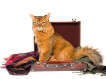 Gato somaliano transversal dentro da mala de viagem marrom Fotografia de Stock