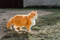 Gato sombrio do gengibre com olhos verdes que anda na jarda foto de stock royalty free