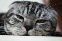 Gato sonolento Imagens de Stock Royalty Free