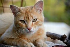 Gato sonolento Fotos de Stock