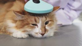 Gato sonolento adorável do gengibre que está sendo escovado pelo proprietário foto de stock royalty free