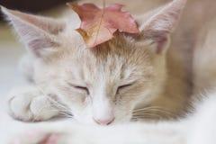 Gato sonolento bonito Fotos de Stock Royalty Free