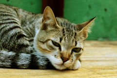Gato sonolento que descansa, gatinho bonito Imagens de Stock Royalty Free