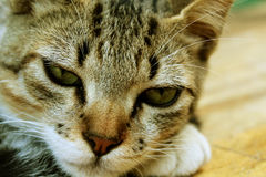 Gato sonolento que descansa, gatinho bonito Fotos de Stock Royalty Free