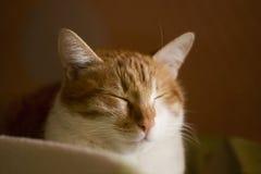 Gato soñoliento del jengibre, gato de sueño, cara del gato Fotografía de archivo