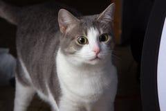 Gato sorprendido, gato alerta, animal en el asombro, mirada extraña, en choque imagen de archivo