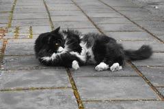 Gato sueco Fotografía de archivo libre de regalías