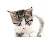 Gato surpreendido Imagens de Stock Royalty Free
