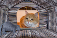 Gato surpreendido por seu brinquedo do rato Fotografia de Stock Royalty Free