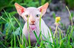 Gato surpreendido que mostra a língua foto de stock