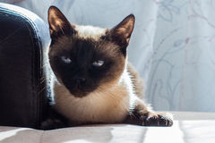 Gato, tailandés Fotos de archivo libres de regalías