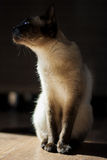 Gato, tailandés Imagen de archivo