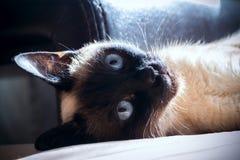 Gato, tailandés Fotografía de archivo libre de regalías
