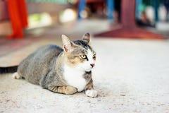 Gato tailandés Imagen de archivo libre de regalías
