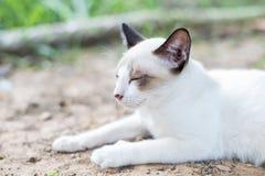 Gato tailandés blanco Fotografía de archivo libre de regalías