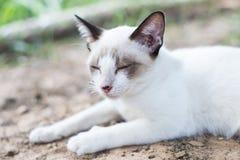 Gato tailandés blanco Fotos de archivo libres de regalías