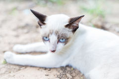 Gato tailandés blanco Imagenes de archivo