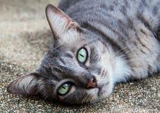 Gato tailandés en Tailandia Imagen de archivo
