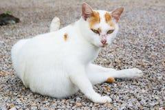 Gato tailandês Imagens de Stock Royalty Free