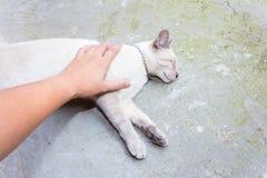 Gato tailandês Fotografia de Stock