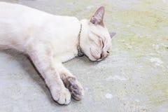 Gato tailandês Fotos de Stock