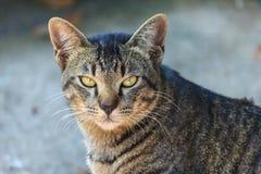 Gato tailandês Fotografia de Stock Royalty Free