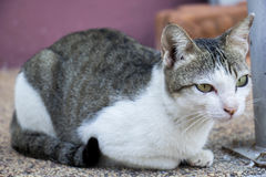 Gato tailandês Fotos de Stock Royalty Free