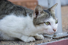 Gato tailandês Foto de Stock Royalty Free