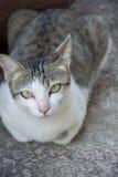 Gato tailandês Imagem de Stock