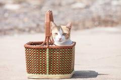 Gato tailandês Imagem de Stock Royalty Free