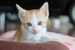Gato tailandês Imagens de Stock